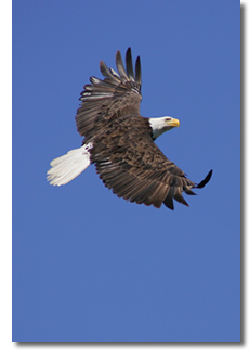 Cape Breton bald eagle